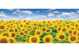 mural sunflowers field maxi size wall mural sunflowers field maxi size