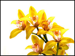 yellow orchid yellow orchid by kanes on deviantart