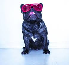 viral canine photo accounts french bulldogs