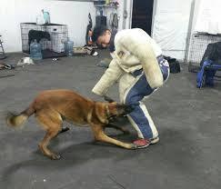 belgian sheepdog florida singapore best dog training u2013 we are ava accredited dog trainer