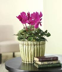 Home Decorating Plants Romantic Home Decorating With Flowers Of Beautiful Cyclamen