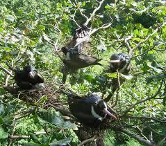 australian endangered species christmas island frigatebird