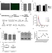 Mirs Rugs Herpesviruses Shape Tumour Microenvironment Through Exosomal
