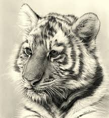 tiger cub pencil drawing tiger cubs pencil drawings and tiger cub
