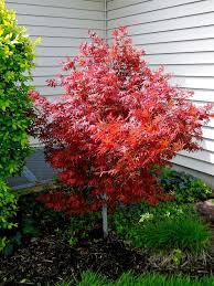 25 unique japanese maple tree ideas on