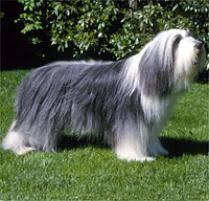 belgian sheepdog on petfinder adopt a bearded collie dog breeds petfinder