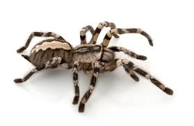 indian ornamental tarantula for sale reptiles for sale