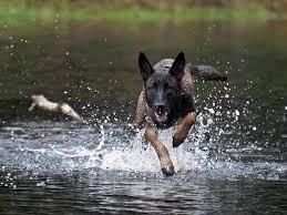 belgian malinois energy belgian malinois dog breed standards