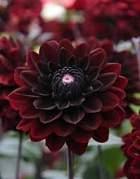 Dark Red Flower - best 25 dark flowers ideas on pinterest black flowers flowers