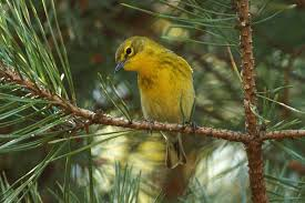 evergreen trees for bird landscaping