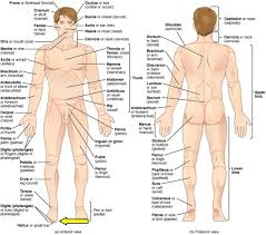 Human Anatomy Images Free Download Regions Of Human Body Youtube