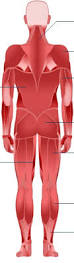 Human Body Muscles Images Bbc Science U0026 Nature Human Body And Mind Anatomy Muscular
