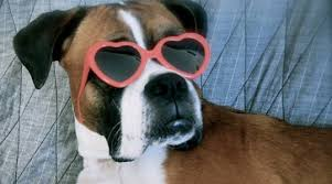 rescue a boxer dog green acres boxer rescue of wisconsin add a little character to