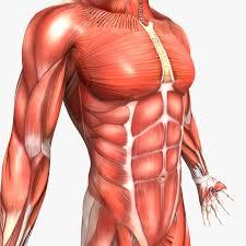 Human Anatomy Male 100 Human Organ Diagram Male Human Anatomy Internal Organs
