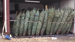 the best farm fresh christmas trees in austin area are even
