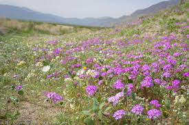a first glimpse at the 2017 wildflowers in anza borrego shuwen l wu