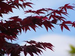 propagating japanese maples from cuttings growth as nature intended