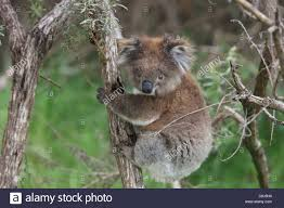 koala phascolarctos cinereus australia marsupial arboreal