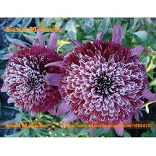 echinacea flower snow purple echinacea flower plant coneflower seeds 50