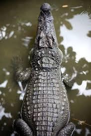 best 25 crocodile images ideas on pinterest crochet crocodile