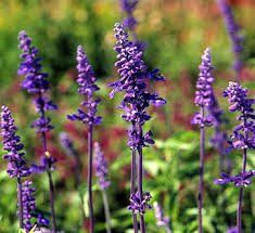 salvia flower a gardener s guide to salvias