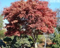 Ornamental Maple Tree Ornamental Specimen Trees For Sale In Rockland Westchester