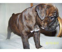 boxer dog reverse brindle brindle boxer puppies reverse brindle boxer dogs pups image