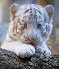 les 25 meilleures idées de la catégorie lion blanc sur pinterest