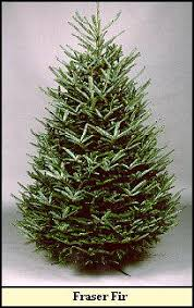 fraser fir chart telling which trees last smell best