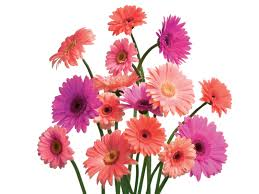 Ideas For Gerbera Flowers Unique Wedding Ideas Gerbera Daises Use The And Innocency