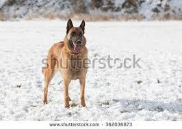 belgian sheepdog height belgian shepherd dog stock images royalty free images u0026 vectors
