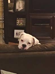 boxer dog rescue florida boxer dog shipping rates u0026 services