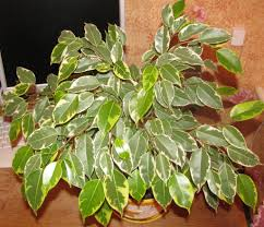 the ultimate ficus benjamina care guide 101 tips