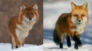 american eskimo dog vs pomeranian 11 dogs that look like a fox pethelpful