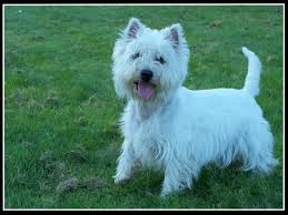 images of westie hair cuts show me your haircuts