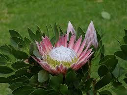Protea Flower Free Photo King Protea Flower Protea Garden Route South Africa