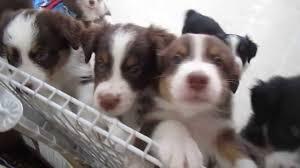 8 week old mini australian shepherd australian shepherd puppies 6 weeks old youtube