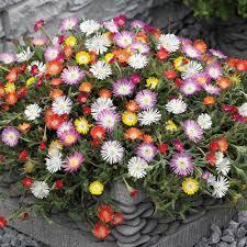 Heat Resistant Plants Delosperma Hardy Ice Plant Perennial Vigorous Ground Cover Even