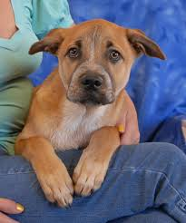 belgian sheepdog dog rescue nevada spca animal rescue brad and daisy darling belgian