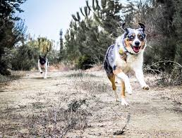 australian shepherd kid friendly why the australian shepherd is the best adventure dog long haul