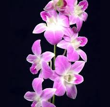 buy wholesale bulk dendrobium orchids flower for weddings