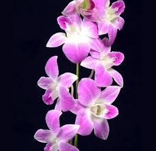 White Dendrobium Orchids Buy Wholesale Bulk Dendrobium Orchids Flower For Weddings