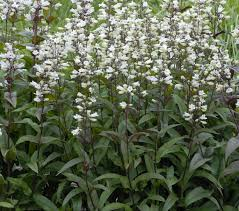 huskers red penstemon plants herbaceous pinterest plants and
