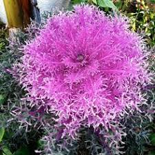 the northern lights pink blush ornamental cabbage produces big