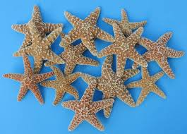 atlantic sugar starfish bulk 4 inch to 6 inches