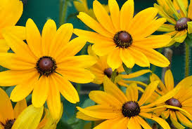 State Flower Of Montana - maryland state flower black eyed susan