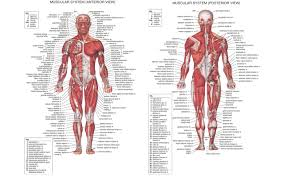 Human Anatomy Exam Questions Muscle Anatomy Exam Anatomy Quiz Muscles Of The Leg Human
