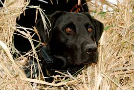 how to keep your dog hidden in the field gun dog magazine