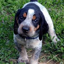 bluetick coonhound owners bluetick coonhound