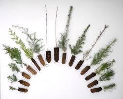 Planting Christmas Tree Seedlings Christmas Tree Seedlings Chritsmas Decor